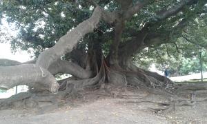 Ombú bush